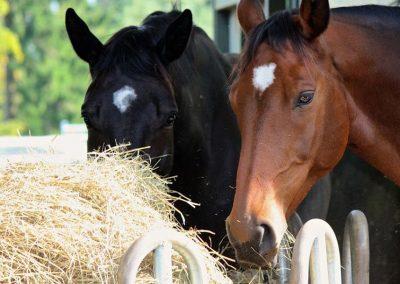 Fressende Pferde